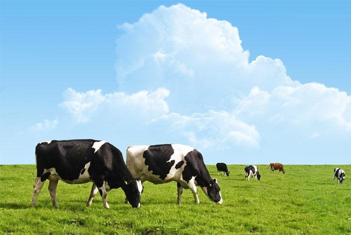 koeien-in-het-weiland