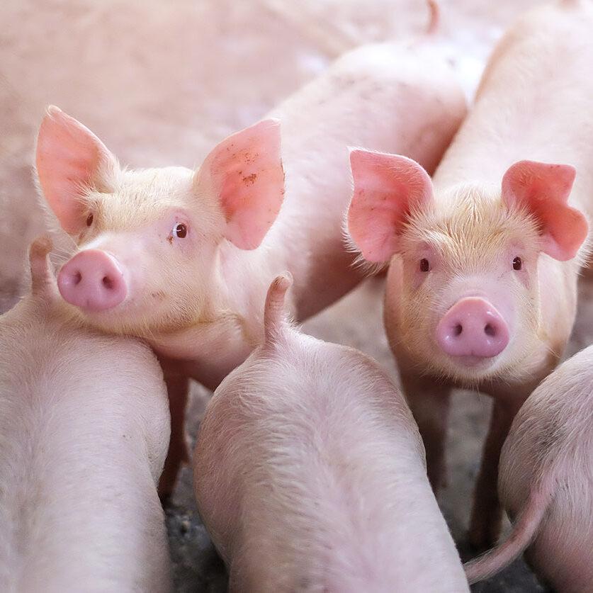 varkens-beeld-1